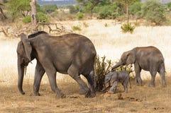 Κινηματογράφηση σε πρώτο πλάνο της αφρικανικής οικογένειας ελεφάντων στοκ φωτογραφία με δικαίωμα ελεύθερης χρήσης