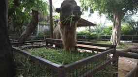 Κινηματογράφηση σε πρώτο πλάνο της βακτριανής καμήλας που τρώει τη χλόη απόθεμα βίντεο