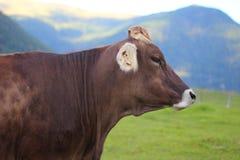 Κινηματογράφηση σε πρώτο πλάνο της βοσκής της αγελάδας Στοκ Φωτογραφία