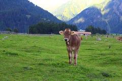 Κινηματογράφηση σε πρώτο πλάνο της βοσκής της αγελάδας Στοκ φωτογραφία με δικαίωμα ελεύθερης χρήσης