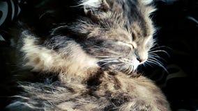 Κινηματογράφηση σε πρώτο πλάνο της γκρίζας χνουδωτής εσωτερικής γάτας που γλείφει την τρίχα του σε σε αργή κίνηση απόθεμα βίντεο