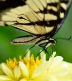 Κινηματογράφηση σε πρώτο πλάνο της κίτρινης πεταλούδας στοκ εικόνα με δικαίωμα ελεύθερης χρήσης