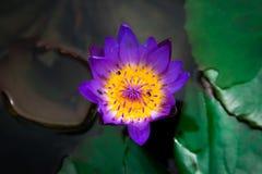 Κινηματογράφηση σε πρώτο πλάνο της κίτρινης, πορφυρής φαντασίας άνθισης waterlily ή του λουλουδιού λωτού Στοκ Εικόνα