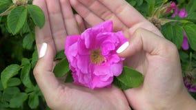 Κινηματογράφηση σε πρώτο πλάνο της λαβής χεριών γυναικών στην παλάμη και ήπια σχετικά με τα ρόδινα τριαντάφυλλα δάχτυλων απόθεμα βίντεο
