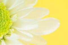 Κινηματογράφηση σε πρώτο πλάνο της λευκιάς Daisy Flower σε κίτρινο Στοκ Εικόνα