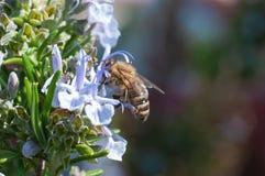 Κινηματογράφηση σε πρώτο πλάνο της μέλισσας μελιού στο γαλαζωπό λουλούδι που συλλέγει τη γύρη στοκ εικόνα