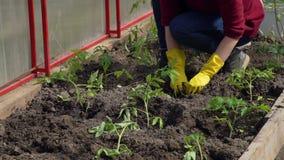 Κινηματογράφηση σε πρώτο πλάνο της νέας γυναίκας που φυτεύει τις ντομάτες απόθεμα βίντεο
