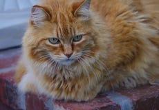 Κινηματογράφηση σε πρώτο πλάνο της πορτοκαλιάς γάτας με τα πράσινα μάτια και την έντονη έκφραση Στοκ Φωτογραφίες