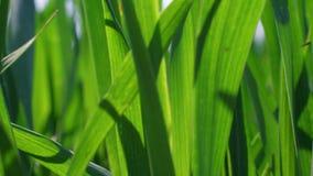 Κινηματογράφηση σε πρώτο πλάνο της πράσινης ανάπτυξης χλόης στον τομέα στην ηλιόλουστη θυελλώδη ημέρα απόθεμα βίντεο