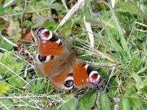Κινηματογράφηση σε πρώτο πλάνο της συνεδρίασης πεταλούδων Peacock στο έδαφος στοκ φωτογραφία με δικαίωμα ελεύθερης χρήσης