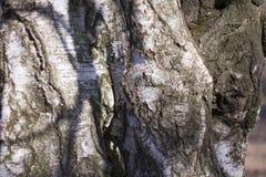 Κινηματογράφηση σε πρώτο πλάνο της σύστασης φλοιών δέντρων στοκ εικόνα