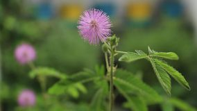 Κινηματογράφηση σε πρώτο πλάνο της τέλειας άνθισης των ευαίσθητων εγκαταστάσεων που φυσούν ήπια στον αέρα Το pudica Mimosa, νυστα φιλμ μικρού μήκους