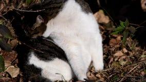 Κινηματογράφηση σε πρώτο πλάνο της τιγρέ γάτας που γλείφει τη γούνα απόθεμα βίντεο
