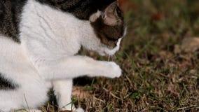 Κινηματογράφηση σε πρώτο πλάνο της τιγρέ γάτας που γλείφει pae φιλμ μικρού μήκους