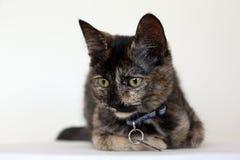 Κινηματογράφηση σε πρώτο πλάνο της όμορφης νέας γάτας ταρταρουγών με τα κίτρινα μάτια στοκ εικόνες