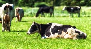 Κινηματογράφηση σε πρώτο πλάνο της όμορφης συνεδρίασης αγελάδων του Χολστάιν στο πράσινο λιβάδι Στοκ φωτογραφία με δικαίωμα ελεύθερης χρήσης