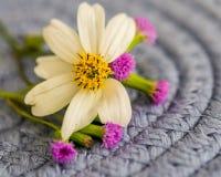 Κινηματογράφηση σε πρώτο πλάνο της Daisy με τις μικροσκοπικές ροδανιλίνης εμφάσεις λουλουδιών στοκ φωτογραφία
