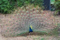Κινηματογράφηση σε πρώτο πλάνο του άγριου ινδικού μπλε peafowl με το ανοικτό φτερό στοκ φωτογραφία