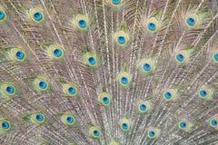 Κινηματογράφηση σε πρώτο πλάνο του άγριου ινδικού μπλε peafowl με το ανοικτό φτερό στοκ εικόνες