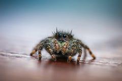 Κινηματογράφηση σε πρώτο πλάνο του άλματος της αράχνης στοκ εικόνες