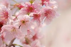 Κινηματογράφηση σε πρώτο πλάνο του άνθους Sakura κερασιών Someiyoshino με το υπόβαθρο θαμπάδων την άνοιξη στοκ εικόνες