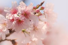 Κινηματογράφηση σε πρώτο πλάνο του άνθους Sakura κερασιών Someiyoshino με το υπόβαθρο θαμπάδων την άνοιξη στοκ φωτογραφία
