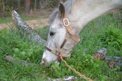 Κινηματογράφηση σε πρώτο πλάνο του άσπρου αλόγου που τρώει την πράσινη χλόη στην επαρχία Στοκ Εικόνες