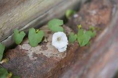 Κινηματογράφηση σε πρώτο πλάνο του άσπρου λουλουδιού σε έναν τουβλότοιχο Στοκ Φωτογραφίες
