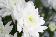 Κινηματογράφηση σε πρώτο πλάνο του άσπρου λουλουδιού χρυσάνθεμων με το πράσινο θολωμένο υπόβαθρο Στοκ Φωτογραφίες