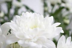 Κινηματογράφηση σε πρώτο πλάνο του άσπρου λουλουδιού χρυσάνθεμων με το πράσινο υπόβαθρο Στοκ Φωτογραφία