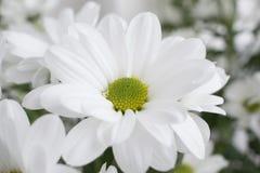 Κινηματογράφηση σε πρώτο πλάνο του άσπρου λουλουδιού χρυσάνθεμων με το πράσινο θολωμένο υπόβαθρο Στοκ Εικόνες