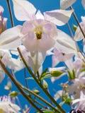 Κινηματογράφηση σε πρώτο πλάνο του άσπρου λουλουδιού του coerulea Aquilegia Στοκ Εικόνα