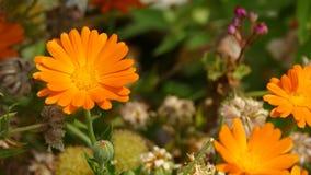 Κινηματογράφηση σε πρώτο πλάνο του αερακιού που φυσά το πορτοκαλί λουλούδι marigold δοχείων Calendula απόθεμα βίντεο