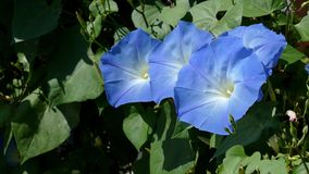Κινηματογράφηση σε πρώτο πλάνο του αερακιού που φυσά το πορφυρό λουλούδι του ορειβάτη δόξας πρωινού απόθεμα βίντεο