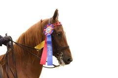 Κινηματογράφηση σε πρώτο πλάνο του αλόγου Saddlebred νίκης στοκ εικόνες
