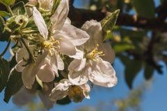 Κινηματογράφηση σε πρώτο πλάνο του ανθίζοντας κλάδου μήλων με το άσπρο λουλούδι την άνοιξη Στοκ Εικόνα