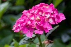 Κινηματογράφηση σε πρώτο πλάνο του ανθίζοντας ρόδινου λουλουδιού hydrangea λουλουδιών hortensia με το φυσικό πράσινο υπόβαθρο Εκλ στοκ φωτογραφία