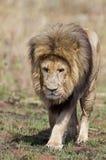 Κινηματογράφηση σε πρώτο πλάνο του αρσενικού λιονταριού Στοκ Φωτογραφία