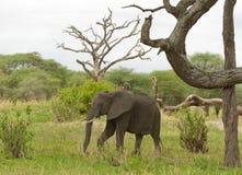 Κινηματογράφηση σε πρώτο πλάνο του αφρικανικού ελέφαντα στοκ φωτογραφία