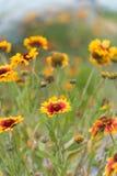 Κινηματογράφηση σε πρώτο πλάνο του γενικού aristata Gaillardia λουλουδιών στην πλήρη άνθιση Στοκ εικόνα με δικαίωμα ελεύθερης χρήσης