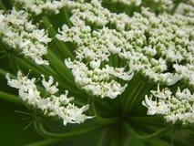 Κινηματογράφηση σε πρώτο πλάνο του γιγαντιαίου κεφαλιού λουλουδιών Hogweed στοκ φωτογραφία με δικαίωμα ελεύθερης χρήσης