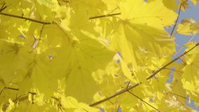 Κινηματογράφηση σε πρώτο πλάνο του δέντρου σφενδάμνου φθινοπώρου απόθεμα βίντεο