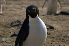 Κινηματογράφηση σε πρώτο πλάνο του ενήλικου adelie penguin στοκ φωτογραφία με δικαίωμα ελεύθερης χρήσης