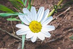 Κινηματογράφηση σε πρώτο πλάνο του ενιαίου chamomile λουλουδιού Στοκ φωτογραφία με δικαίωμα ελεύθερης χρήσης