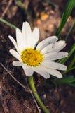 Κινηματογράφηση σε πρώτο πλάνο του ενιαίου chamomile λουλουδιού Στοκ Εικόνες