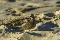 Κινηματογράφηση σε πρώτο πλάνο του ζέβους πουλιού περιστεριών στην παραλία 1 των Σεϋχελλών Στοκ Φωτογραφίες
