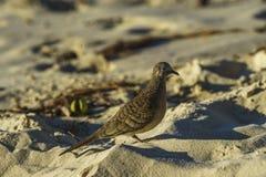 Κινηματογράφηση σε πρώτο πλάνο του ζέβους πουλιού περιστεριών στην παραλία 2 των Σεϋχελλών Στοκ Φωτογραφία