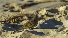 Κινηματογράφηση σε πρώτο πλάνο του ζέβους πουλιού περιστεριών στην παραλία 4 των Σεϋχελλών Στοκ φωτογραφία με δικαίωμα ελεύθερης χρήσης