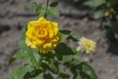 Κινηματογράφηση σε πρώτο πλάνο του κίτρινου λουλουδιού τριαντάφυλλων που ανθίζει στον κήπο Στοκ Φωτογραφίες