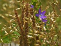 Κινηματογράφηση σε πρώτο πλάνο του κομψού άγριου λουλουδιού Brodiaea στοκ φωτογραφία με δικαίωμα ελεύθερης χρήσης